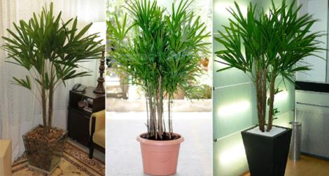 palmeira-rafia